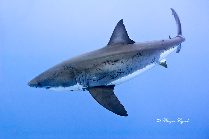 Great White Shark 129 by Dr. Wayne Lynch ©