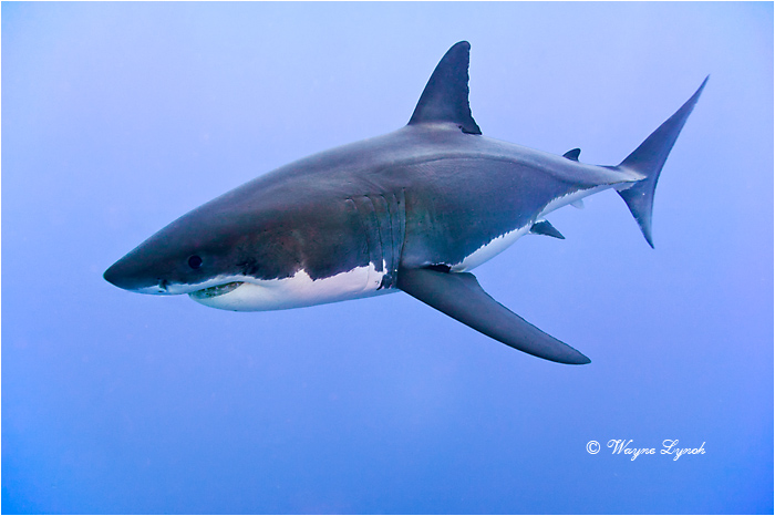 Great White Shark 117 by Dr. Wayne Lynch ©