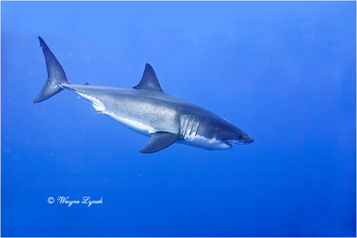 Great White Shark 110 by Dr. Wayne Lynch ©