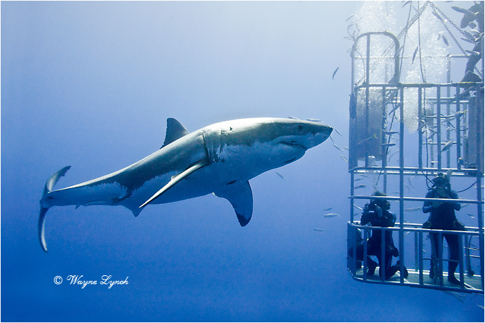 Cage Diving with Great White Sharks 102 by Dr. Wayne Lynch ©