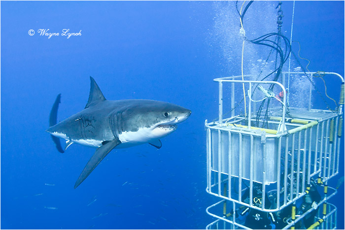 Cage Diving with Great White Sharks 103  by Dr. Wayne Lynch ©