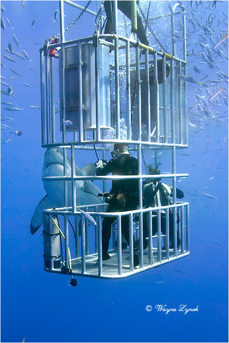 Cage Diving with Great White Sharks 106 by Dr. Wayne Lynch ©